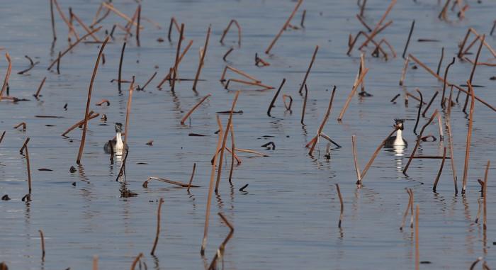 MFの沼で冬鳥(ミコアイサ・カンムリカイツブリを撮る)_f0239515_1814333.jpg