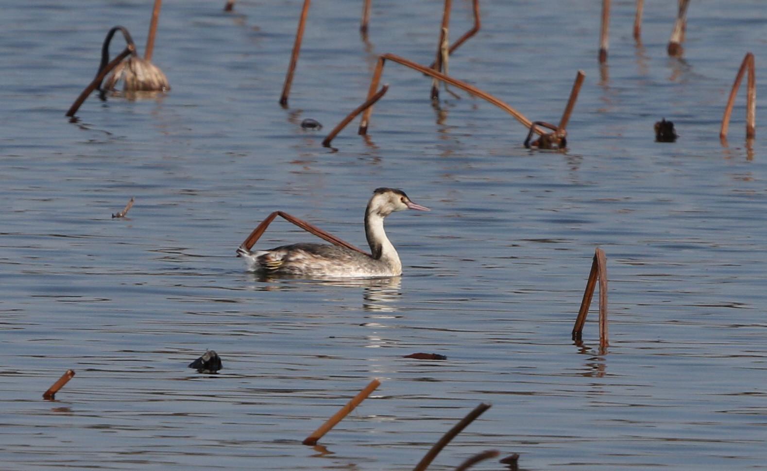 MFの沼で冬鳥(ミコアイサ・カンムリカイツブリを撮る)_f0239515_18145950.jpg