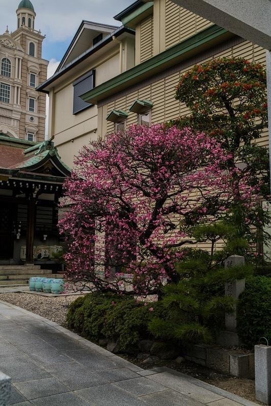 三宮神社の梅_e0363038_15553135.jpg