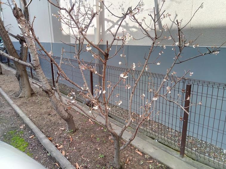 早咲きの桜が開花_e0045139_14010209.jpg