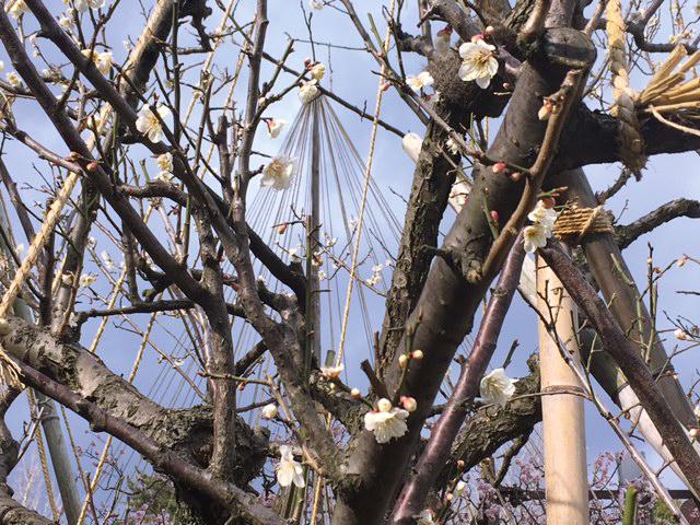 梅の花が咲いています❀_c0225067_15203072.jpg