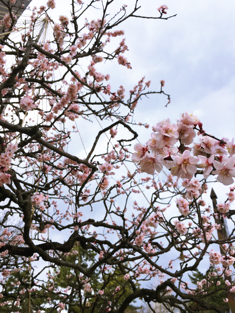 梅の花が咲いています❀_c0225067_15203364.jpg