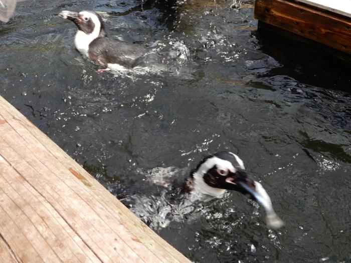 温室にペンギンも黒鳥もいました ③_c0143772_13583442.jpg