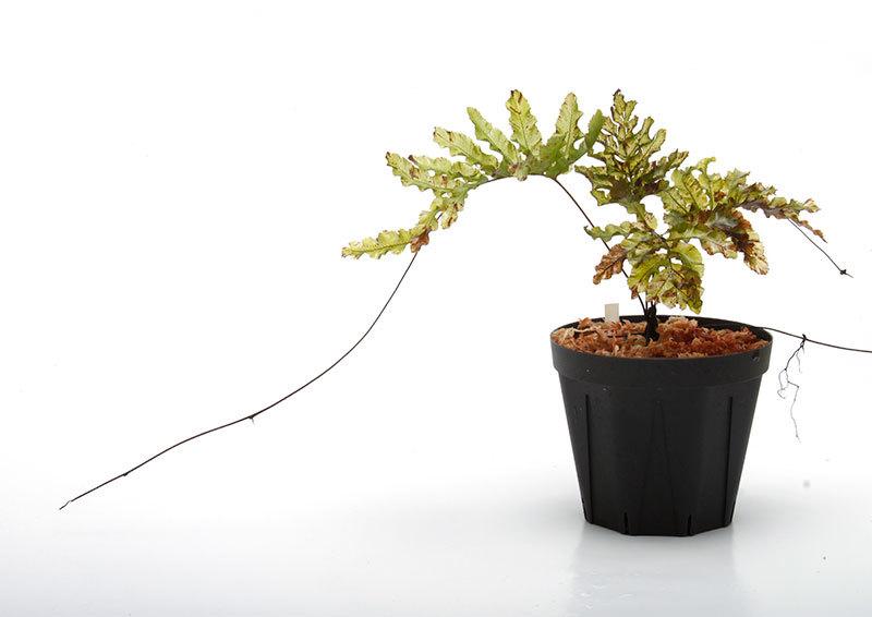 New arrival plants | 新掲載植物 南米原産の透け透けシダとマルクグラビア_d0376039_12260049.jpg