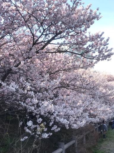 南足柄 春めき桜_f0101201_15075499.jpg