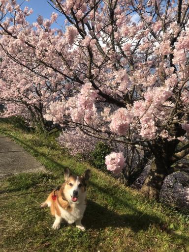 南足柄 春めき桜_f0101201_15153938.jpg