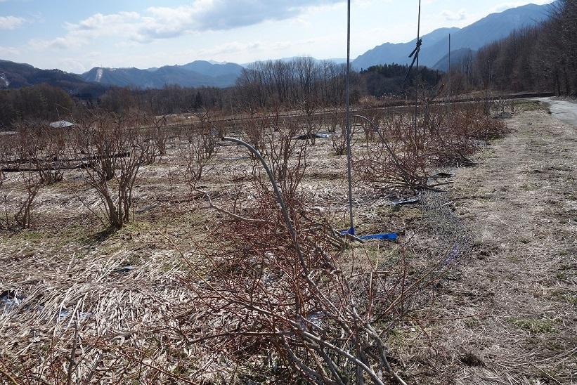 ブルーベリー畑_e0112417_23104761.jpg