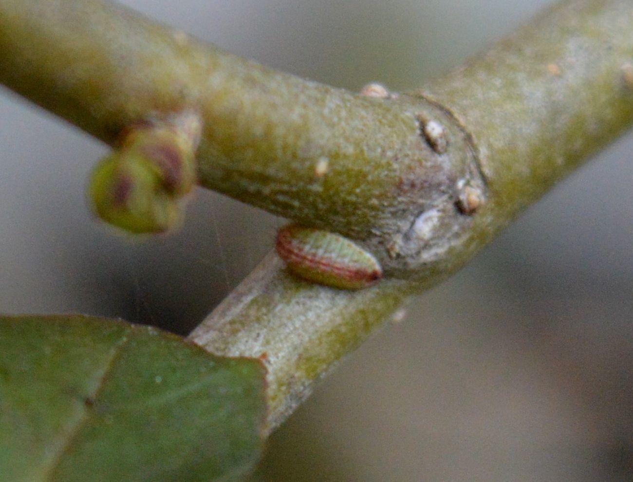 ウラゴマダラシジミの幼虫 3月16日_d0254540_07371288.jpg