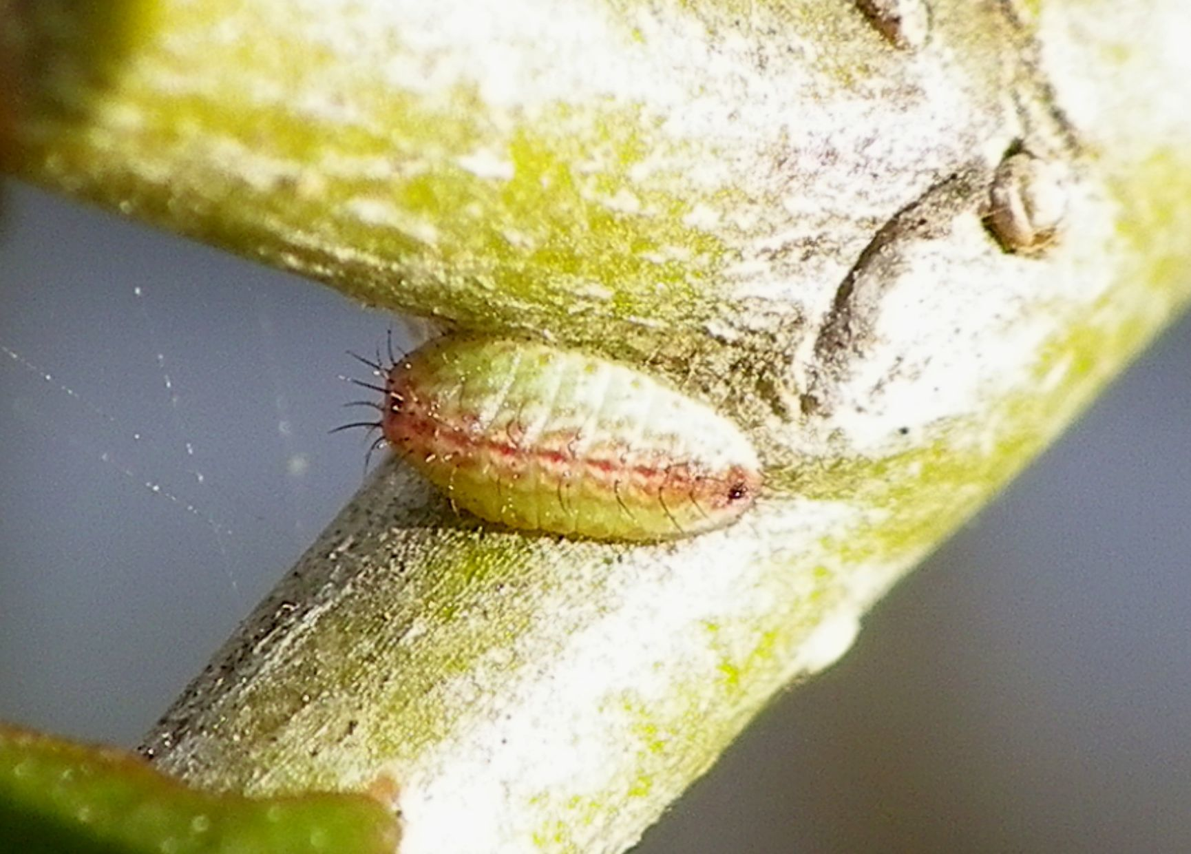 ウラゴマダラシジミの幼虫 3月16日_d0254540_15582277.jpg