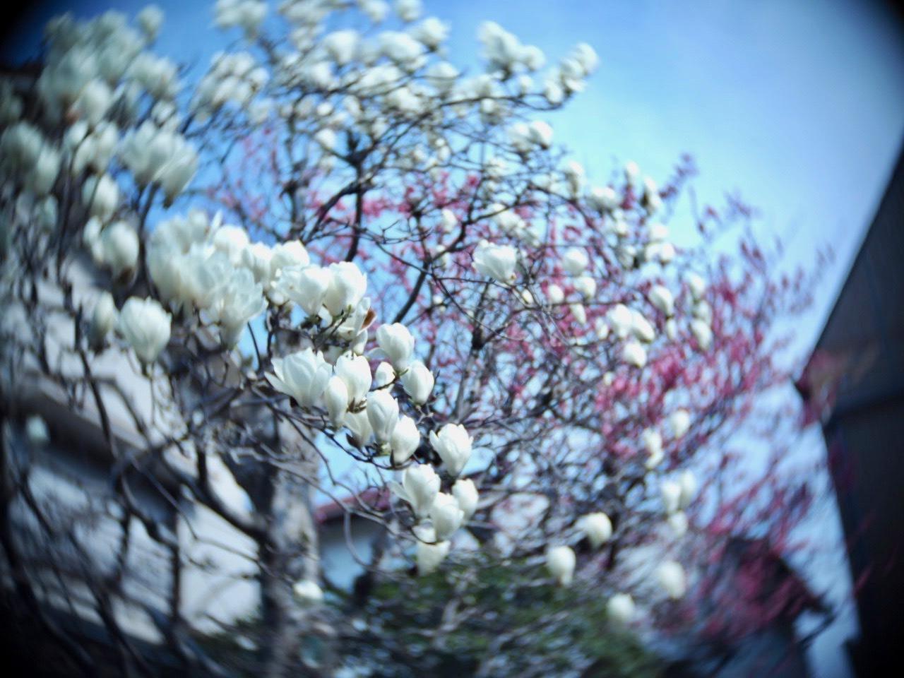 今年も木蓮を楽しませていただきました♡_f0135940_01351875.jpg