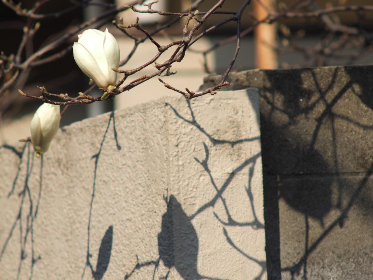 今年も木蓮を楽しませていただきました♡_f0135940_01352533.jpg