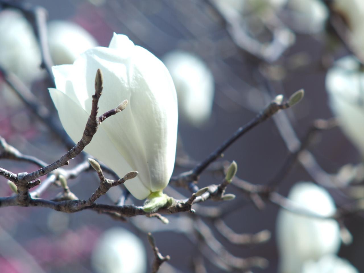 今年も木蓮を楽しませていただきました♡_f0135940_01352707.jpg