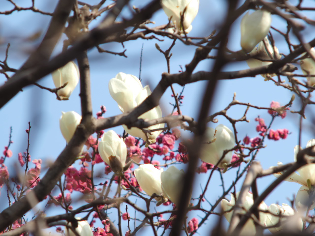 今年も木蓮を楽しませていただきました♡_f0135940_01361184.jpg