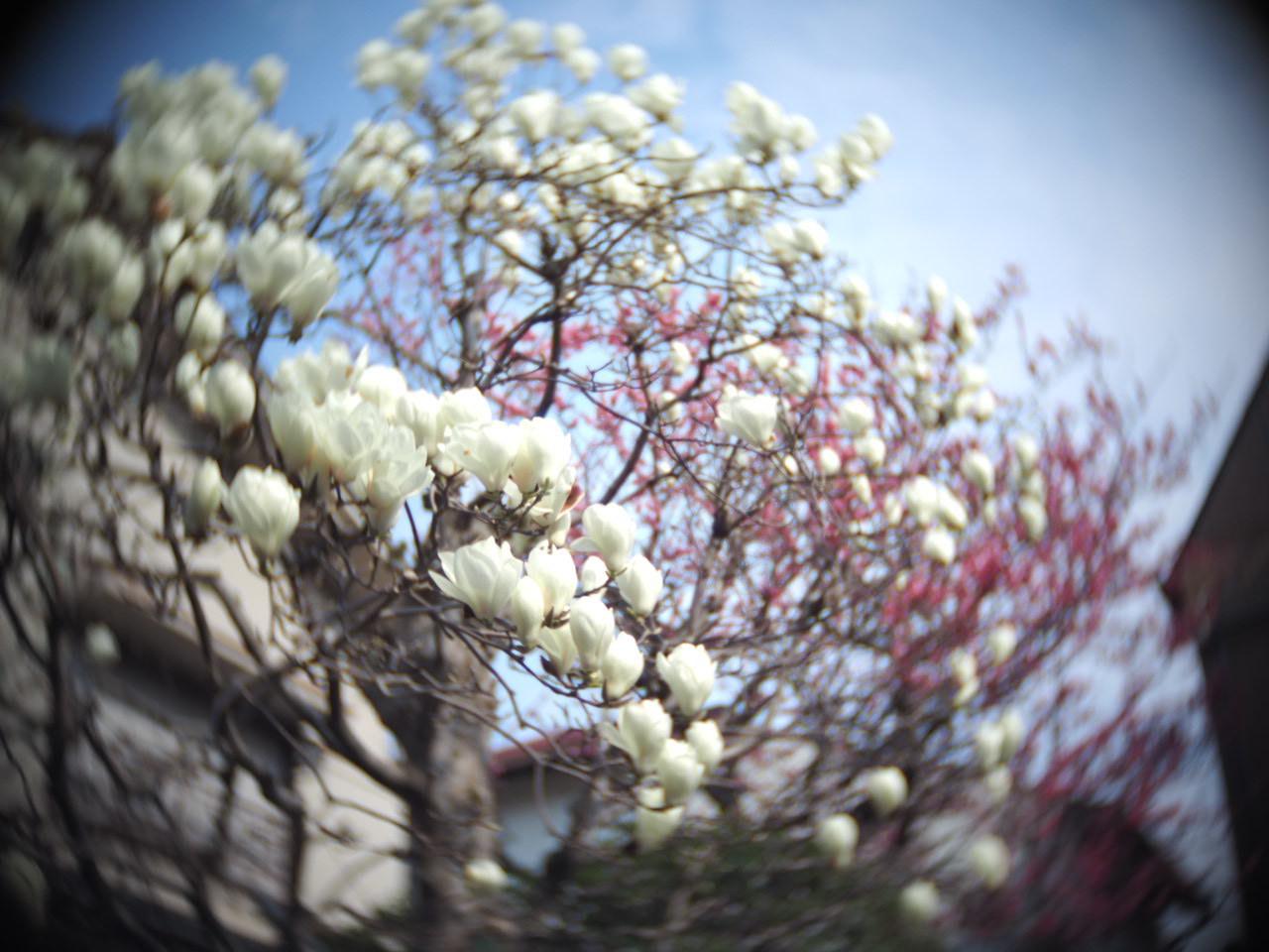 今年も木蓮を楽しませていただきました♡_f0135940_01371253.jpg