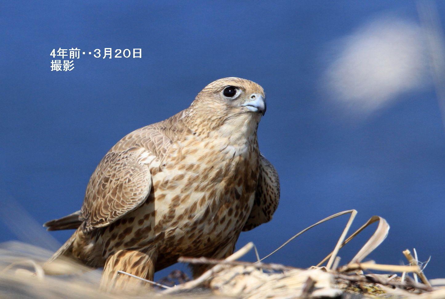 昨日はサッポロ、今日は函館。岬のシロハヤブサ・・今は昔_c0229170_21001646.jpg