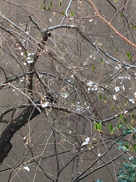 桜の花見頃 2019年春 _f0040201_133135.jpg