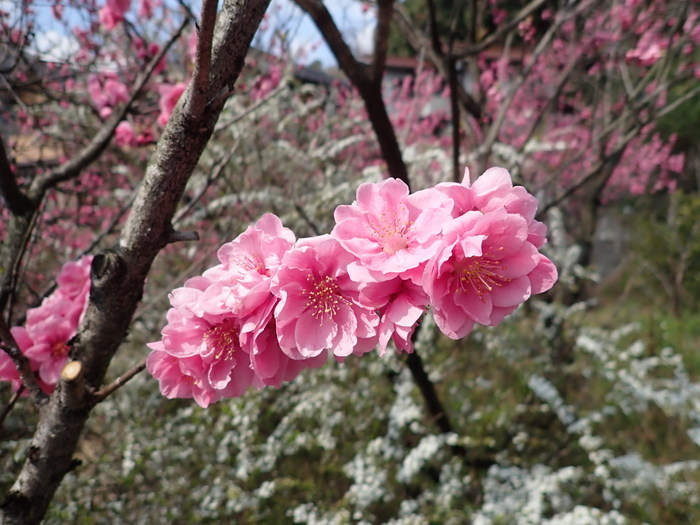 桃の花_c0116915_22210986.jpg