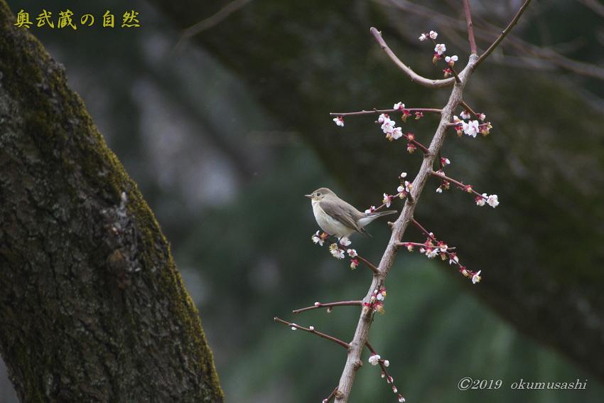 東京に滞在するオジロビタキ_e0268015_17583565.jpg