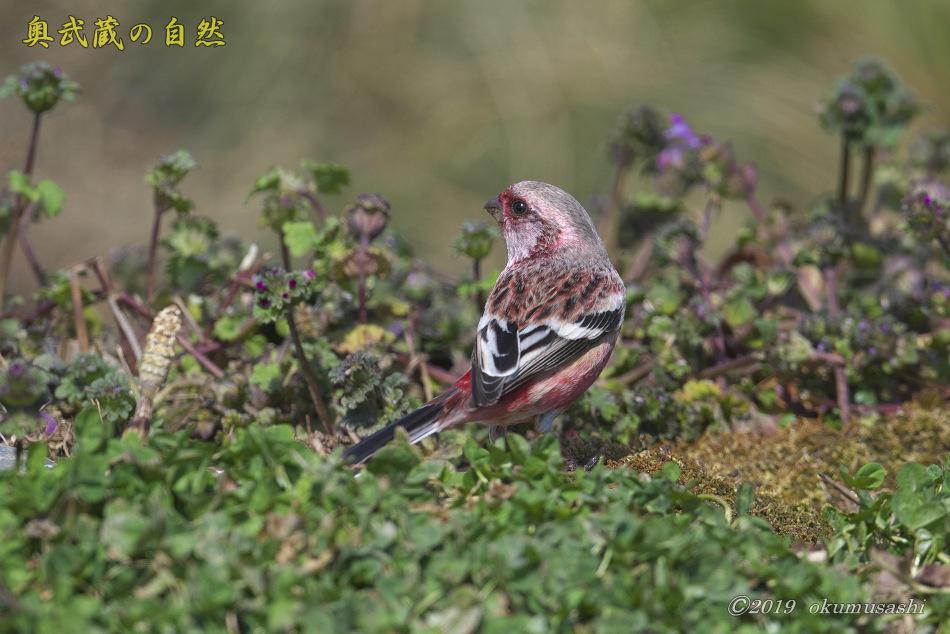 お花畑に来たベニマシコ_e0268015_18421602.jpg