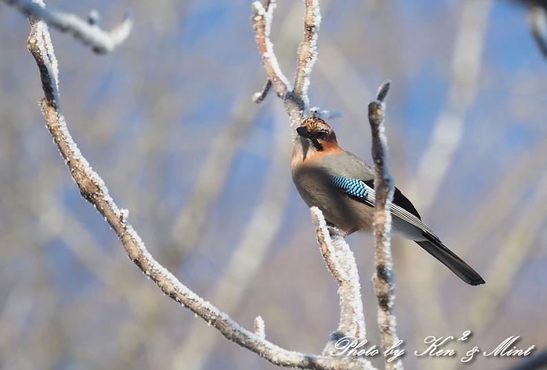 立派な角の「エゾジカ」さんと、ホテルで会えた鳥さん達♪_e0218518_20372128.jpg