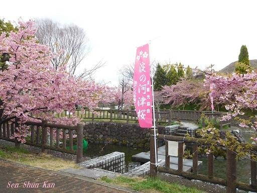 淀の河津桜が満開  2019年3月16日_a0164068_10123821.jpg