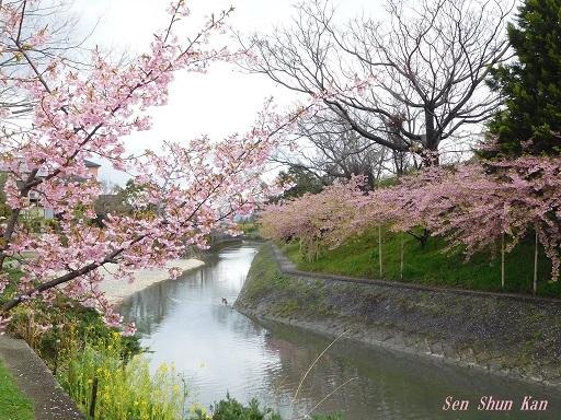 淀の河津桜が満開  2019年3月16日_a0164068_10123848.jpg