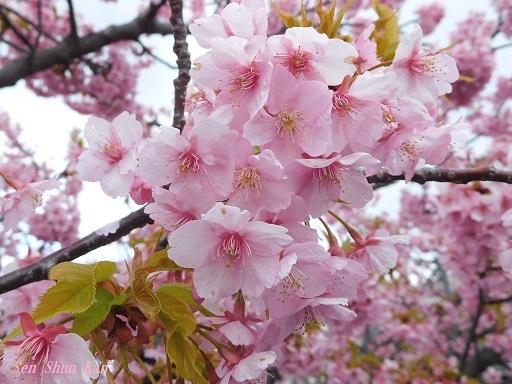 淀の河津桜が満開  2019年3月16日_a0164068_10123849.jpg