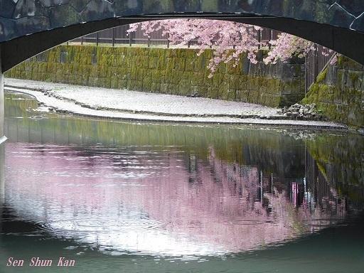 淀の河津桜が満開  2019年3月16日_a0164068_10123852.jpg
