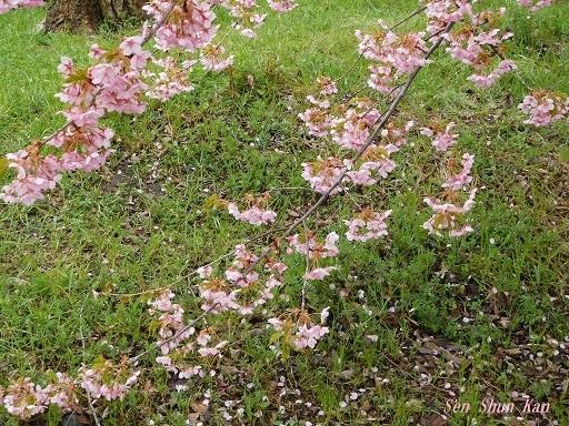 淀の河津桜が満開  2019年3月16日_a0164068_10123860.jpg