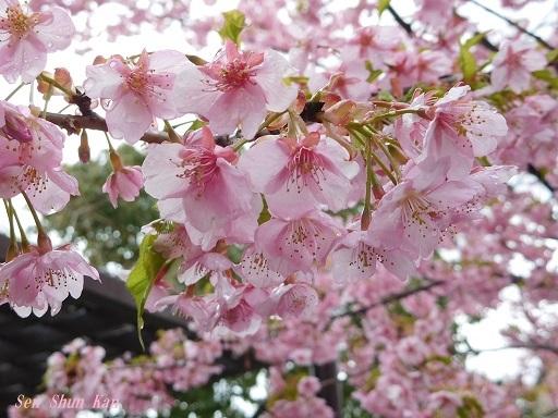 淀の河津桜が満開  2019年3月16日_a0164068_10123894.jpg