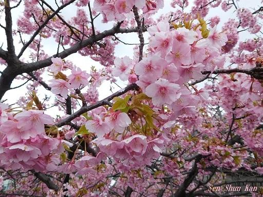淀の河津桜が満開  2019年3月16日_a0164068_10123926.jpg