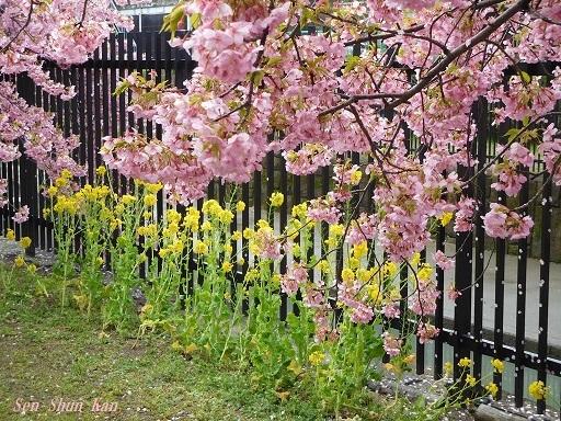 淀の河津桜が満開  2019年3月16日_a0164068_10123933.jpg
