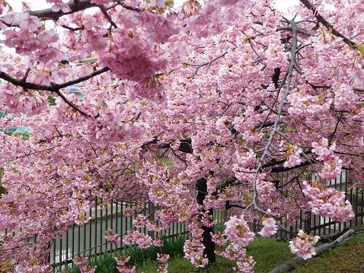 淀の河津桜が満開  2019年3月16日_a0164068_10123960.jpg