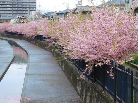 淀の河津桜が満開  2019年3月16日_a0164068_10142077.jpg