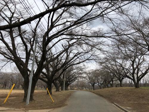かぶらの桜&#127800;並木は、今こんな状態です。</div>_d0338282_14300744.jpg