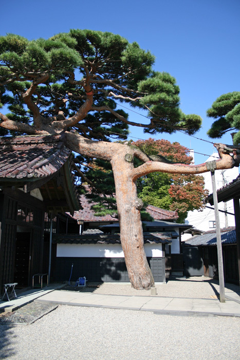 巨樹02_伏龍の松_d0016587_19114201.jpg