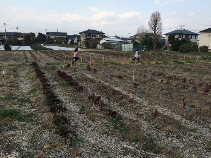 2019 芍薬の芽が伸びてきました。_f0162400_15130413.jpg