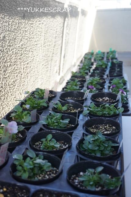 種からビオラが開花しました!_d0348118_09392665.jpg