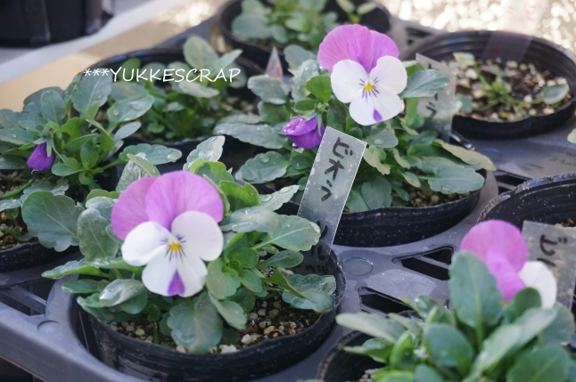 種からビオラが開花しました!_d0348118_09395107.jpg