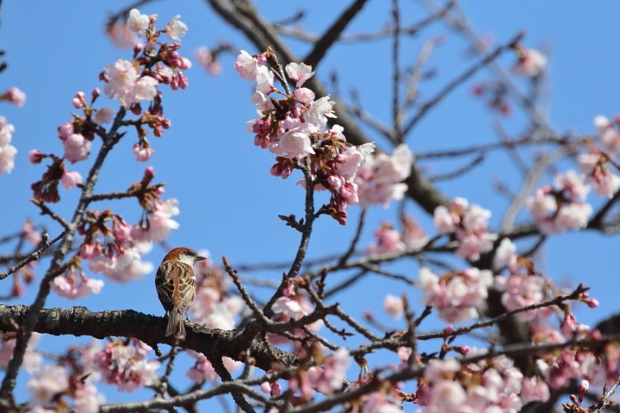 季節物【ニュウナイスズメ・コミミズク・ハイタカ】_b0113228_20142699.jpg
