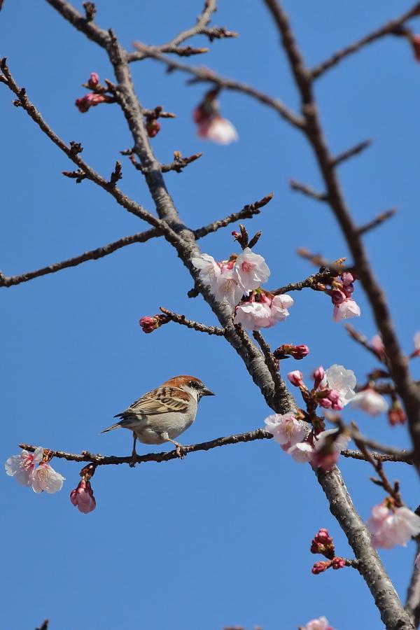 季節物【ニュウナイスズメ・コミミズク・ハイタカ】_b0113228_20143652.jpg