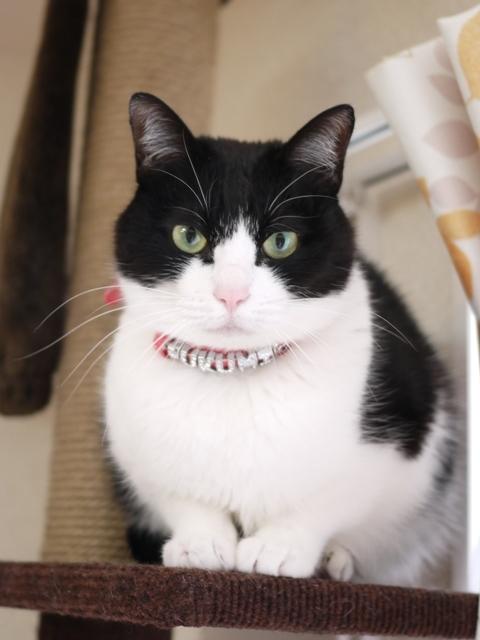 猫のお留守番 福未ちゃん編。_a0143140_21352168.jpg