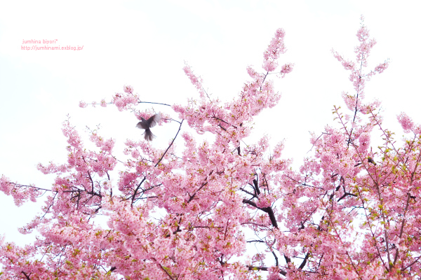 修善寺寒桜_e0268051_19595370.jpg