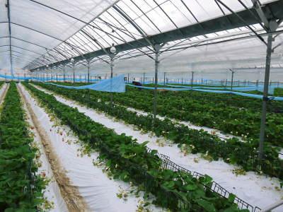 熊本限定栽培品種のイチゴ『熊紅(ゆうべに)』 令和元年度の生産に向け苗床とハウスの様子を取材!後編_a0254656_17384216.jpg