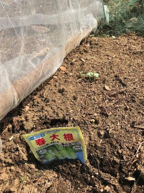 地這い胡瓜種蒔き&ネギ、春大根発芽3・17_c0014967_06481515.jpg
