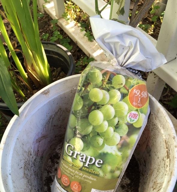種なしブドウ、グラジオラスなどなど@ホームデポのガーデンセンター_e0350971_15331580.jpg