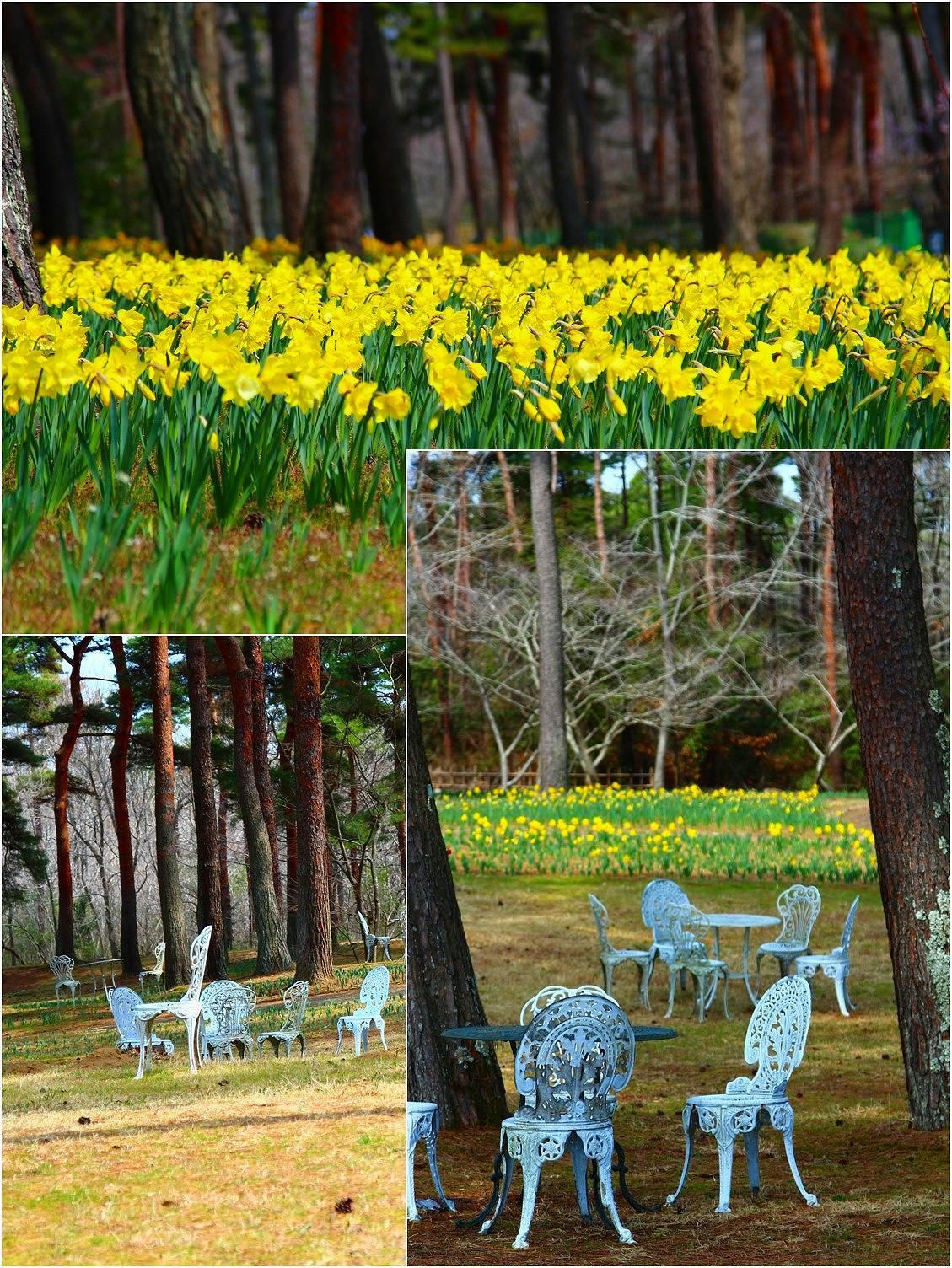 Daffodil picnic_a0107981_22565349.jpg