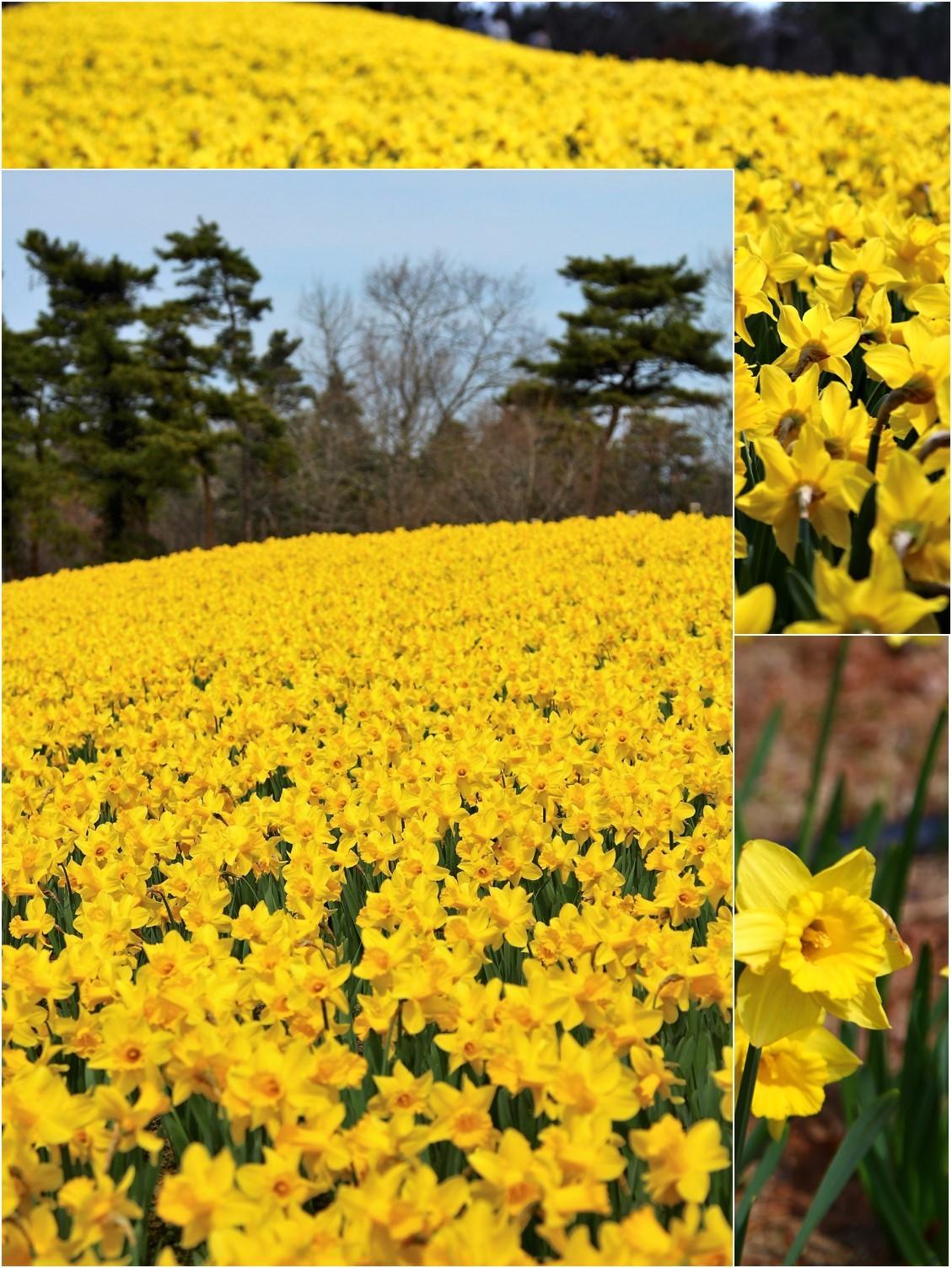 Daffodil picnic_a0107981_22571497.jpg