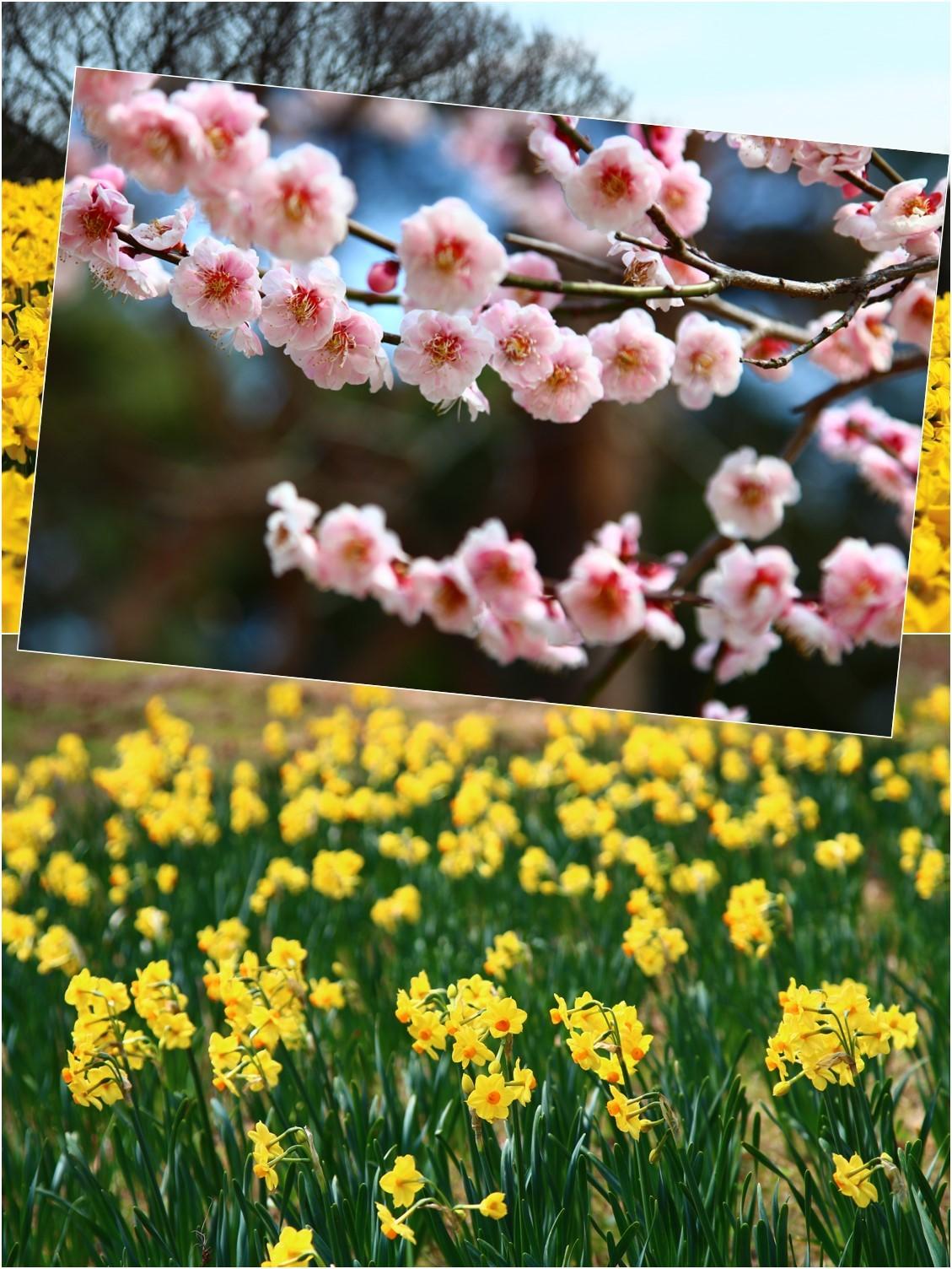 Daffodil picnic_a0107981_22590117.jpg