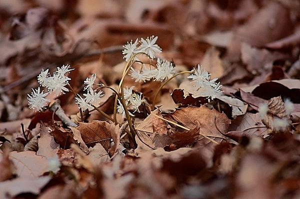 赤城自然園の早春の花_d0334291_15454382.jpg